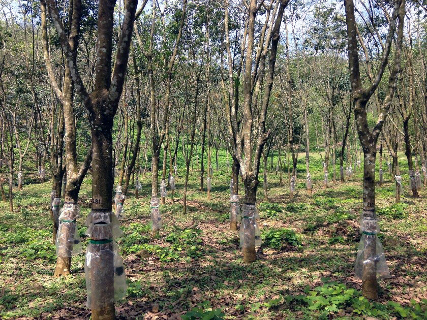 Rubber trees growing in Sri Lanka