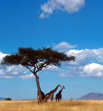African landscape with a tree and giraffes